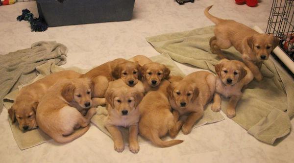 Golden Retriever Puppies Red X Panda Litter 9