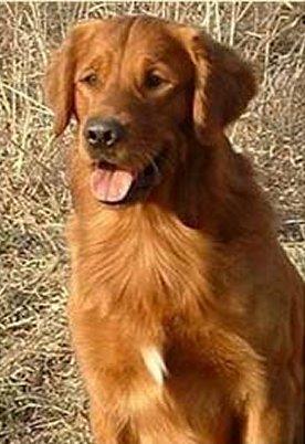Golden Retriever Puppies, Drake x Penny litter #5
