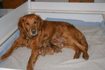 golden retriever puppies speaker x hilfy litter 3