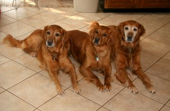 Fern Hill Golden Retrievers Beautiful Top Quality Field And Working
